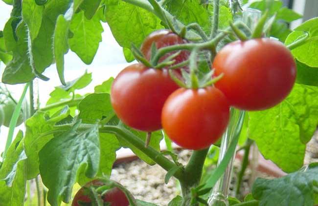 早春番茄育苗注意事项