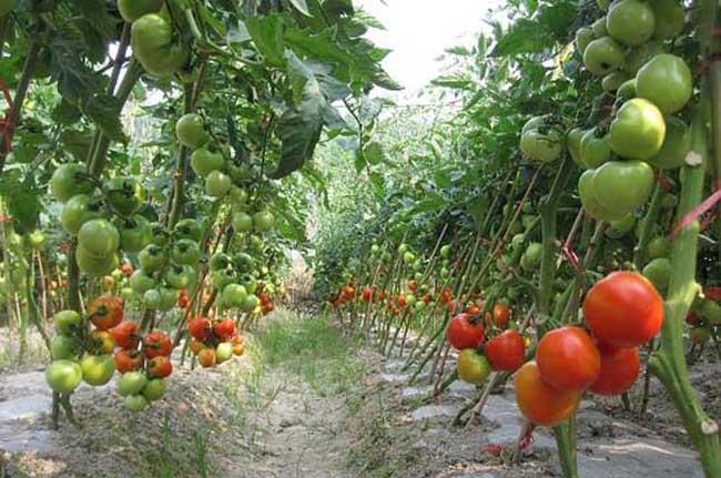 早春番茄育苗种植应需注意事项