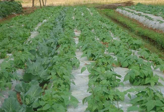 四季豆叶面追肥产量高