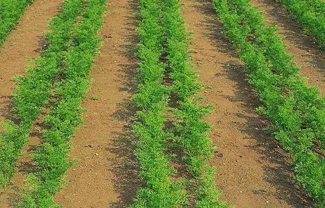 胡萝卜种植