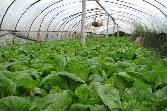 大棚蔬菜喷肥