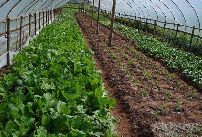 如何使温室蔬菜安全越冬