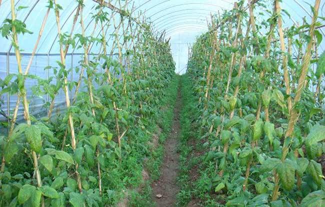 种植大棚蔬菜