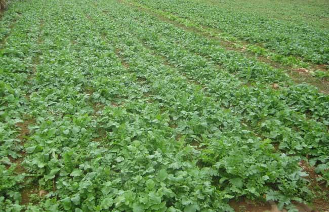 萝卜种植技术