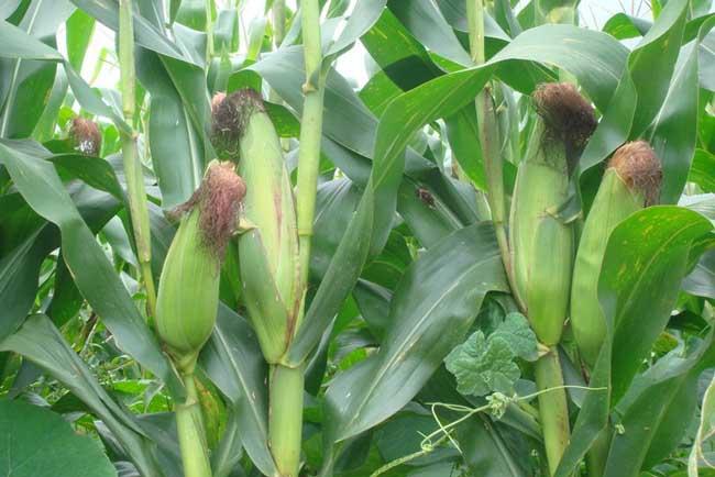 玉米大斑病的防治