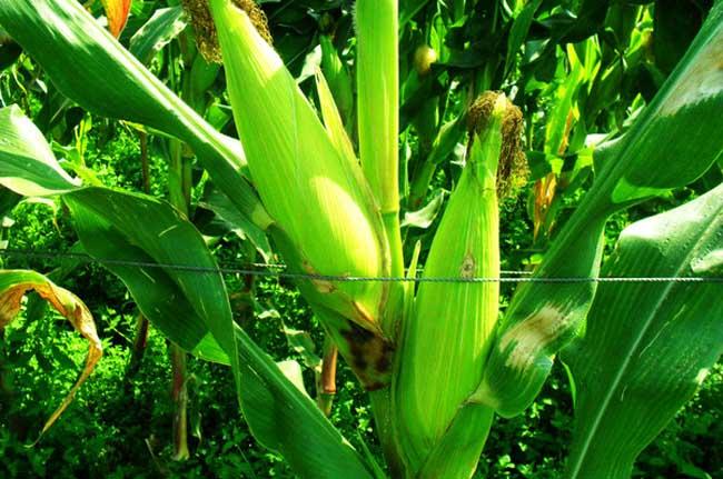 玉米丝黑穗病防治技术