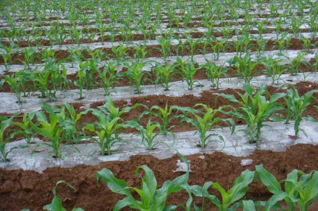 玉米种植技术