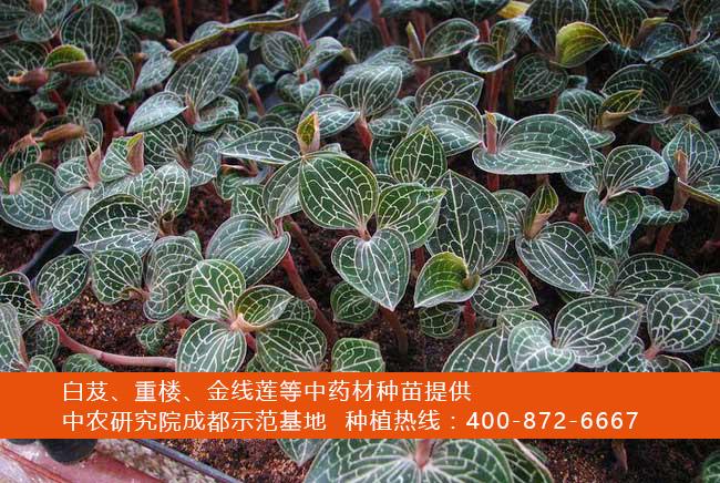 金线莲种植技术