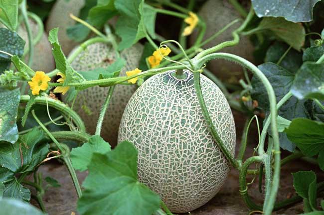 【哈密瓜的种植技术】哈密瓜种植技术