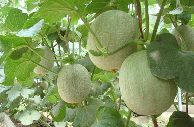 哈密瓜种植技术
