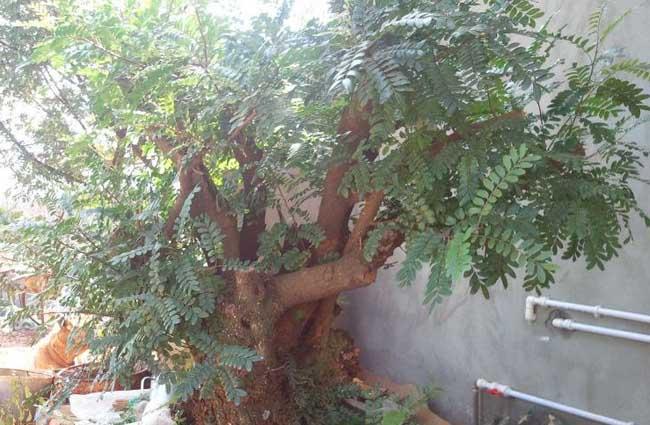 清香木的养殖方法