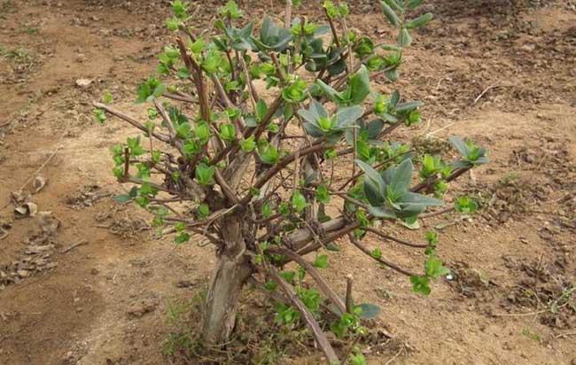 树形金银花的种植技术