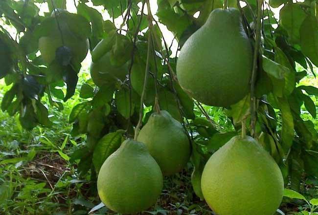 柚子树的栽培