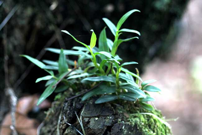 夹江铁皮石斛生长环境
