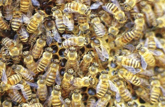 中华蜜蜂养殖