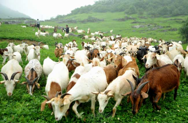 羊的养殖成本和利润