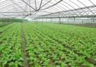 大棚蔬菜种植错误认识