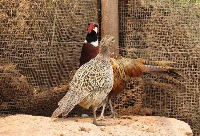 野鸡养殖成本和利润