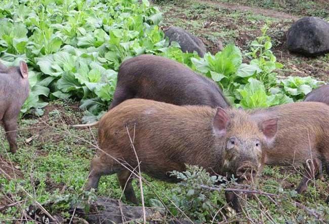 贵州野猪养殖场