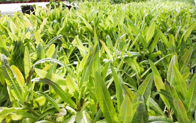 莴笋的种植技术