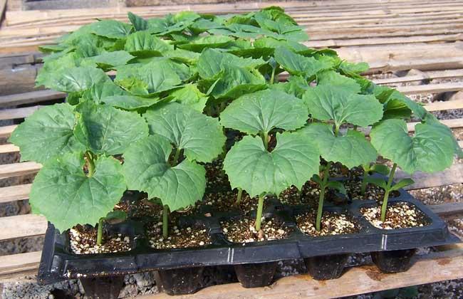 苦瓜种子的催芽方法