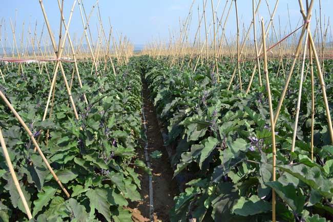 茄子的种植