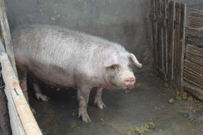 母猪的饲养管理