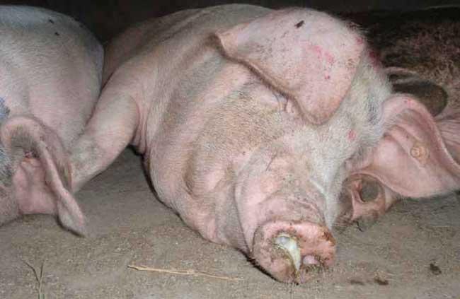 猪病防治技术