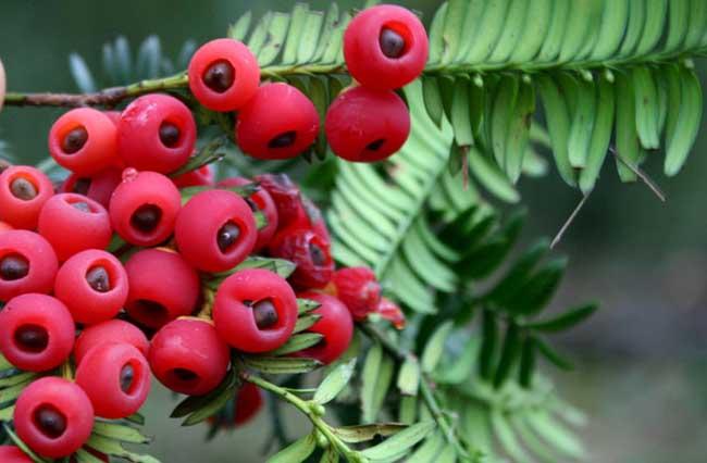 红豆杉的功效与作用_红豆杉盆景养殖方法