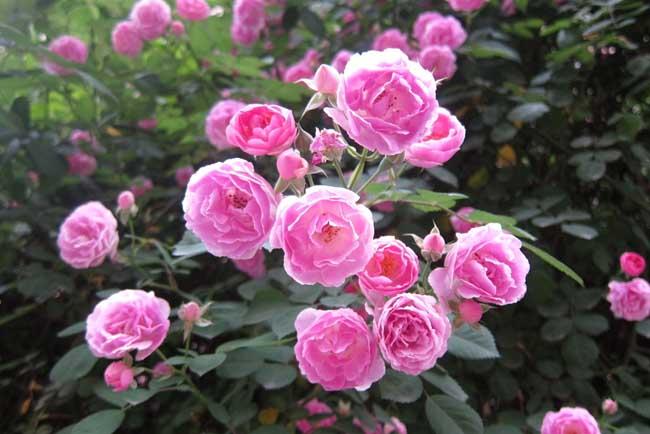 月季花养殖