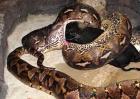 世界上最大的蟒蛇长14.86米重447公斤