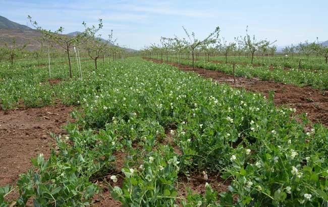 豌豆种植技术