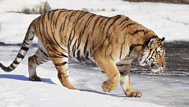 最大的猫科动物