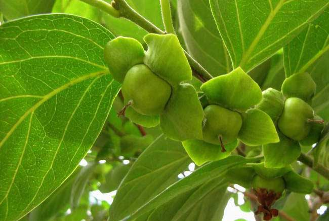 柿子叶的功效与作用及食用方法