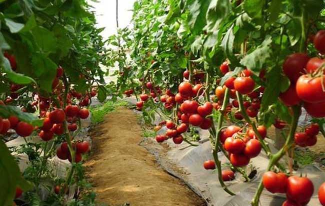 西红柿种植技术