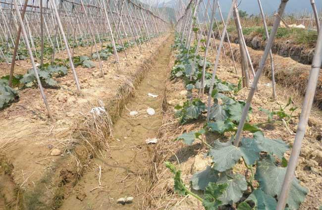 冬瓜种植技术
