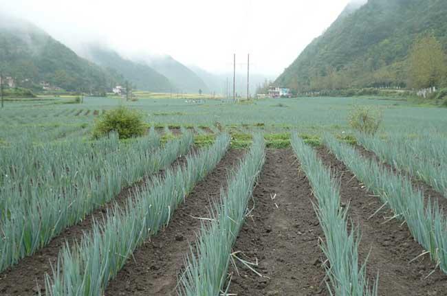 大葱种植技术