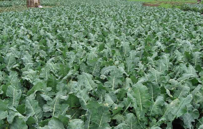 蔬菜种植时间