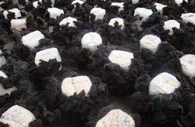 黑木耳的栽培条件