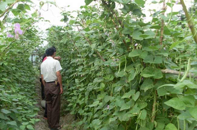 四季豆的种植条件
