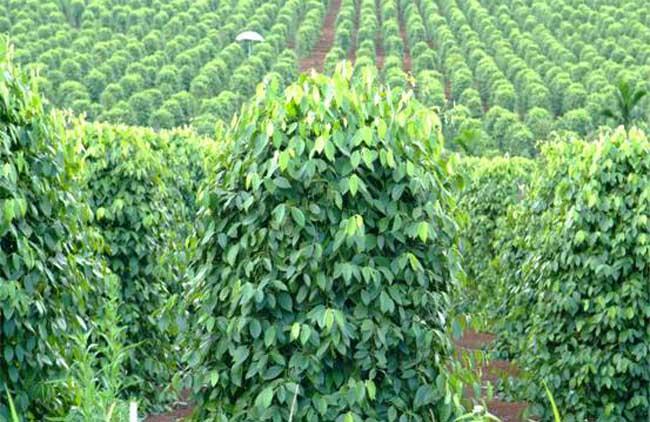 胡椒的种植技术