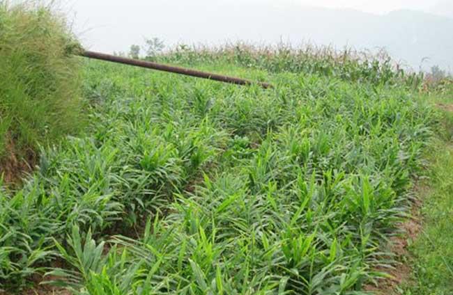 生姜种植技术