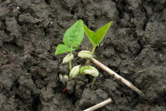 豇豆的种植时间