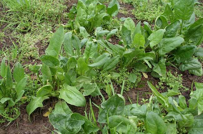 菠菜常见病虫害防治方法