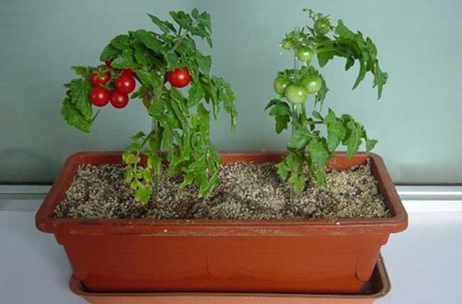 盆栽蔬菜的种植技术