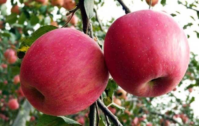 红富士苹果产地在哪里?