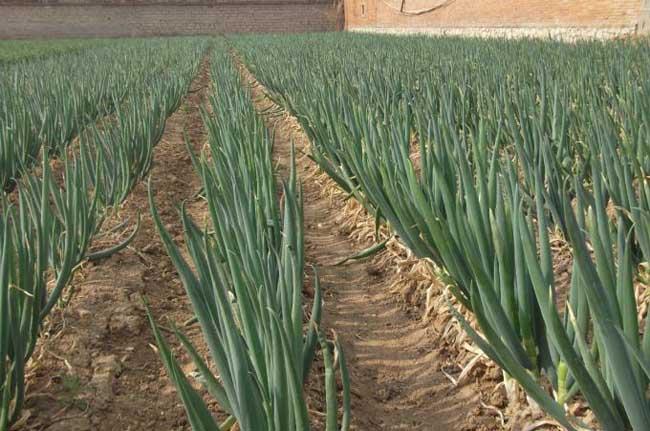 大葱栽培技术
