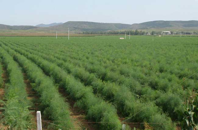 芦笋栽培技术