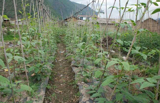 豇豆种植技术