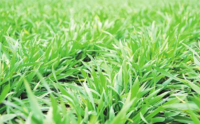 冬小麦返青期的田间管理